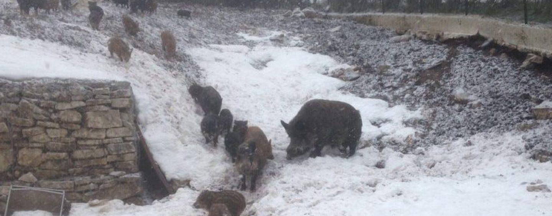 FOTO/ Invasione dei cinghiali a Casalbore causa neve
