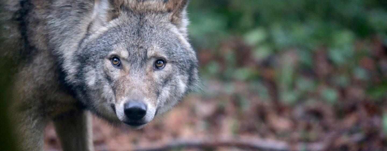 Tempo di lupi: avvistati due esemplari ad Atripalda