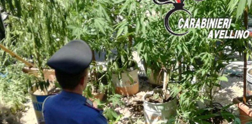 Baiano, coltivavano marijuana in un terreno privato: denunciati due uomini