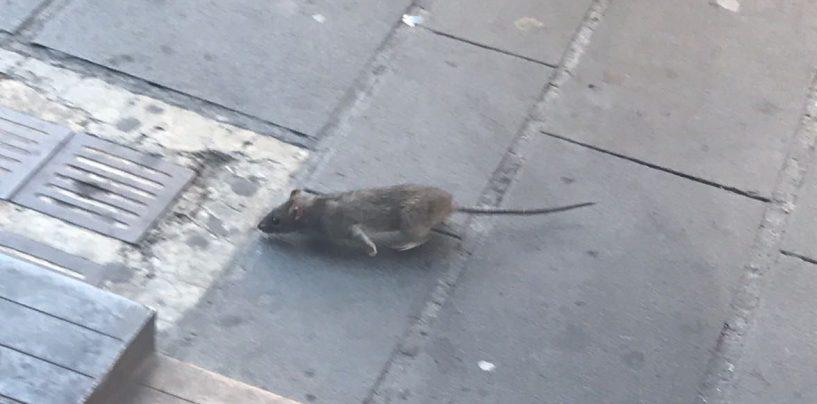 FOTO/ Avellino, barricati nel bar a causa dei topi: accade a Corso Vittorio Emanuele