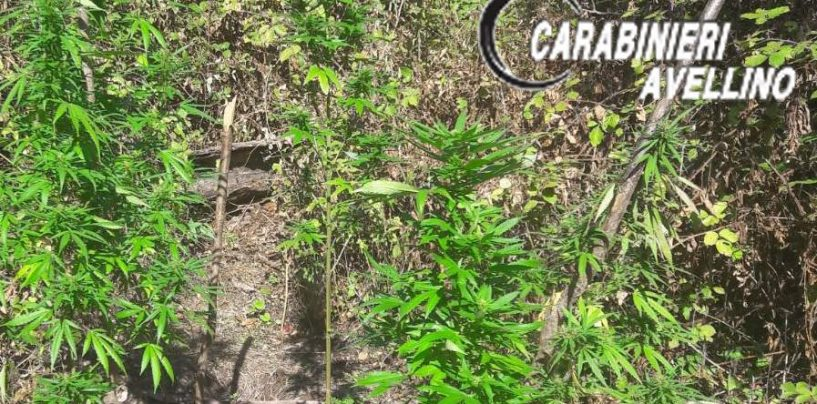 Coltivazione di marijuana in una località montana di Montoro