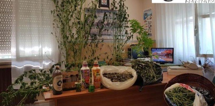 Si dedicano alla coltivazione di cannabis in giardino, in manette mamma e figlio