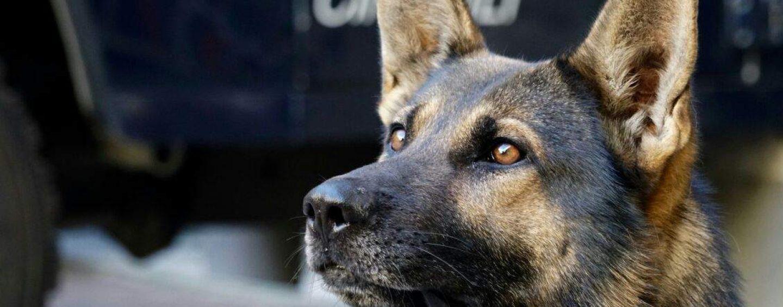 Cane anti-droga in azione all'Alberghiero di Ariano