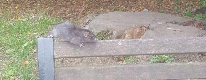 FOTO/ Avellino invasa da topi, erbaccia e spazzatura