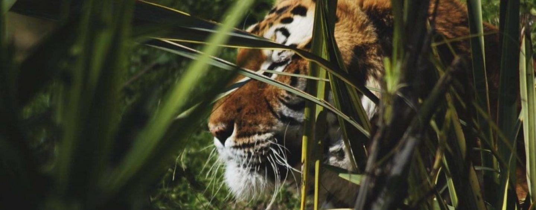 L'addio alla tigre Kashmir, esemplare storico dello Zoo di Napoli