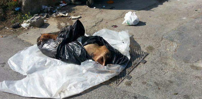 Carcassa di cinghiale nella spazzatura, degrado a Contrada Archi