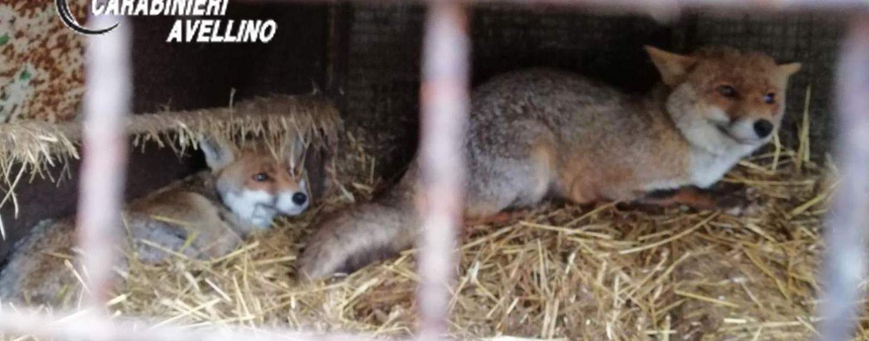 Volpi, cinghiali e volatiti di specie protette detenuti in gabbia: li usavano per pellicce