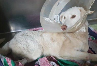 FOTO/ Maremmano ferito con un laccio d'acciaio: era una trappola dei bracconieri