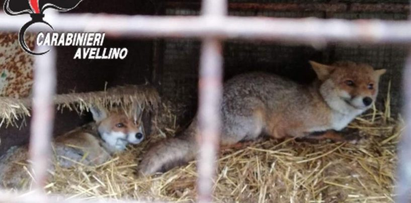 Conceria Solofra: dissequestrati volpi e cinghiali, animalisti indignati