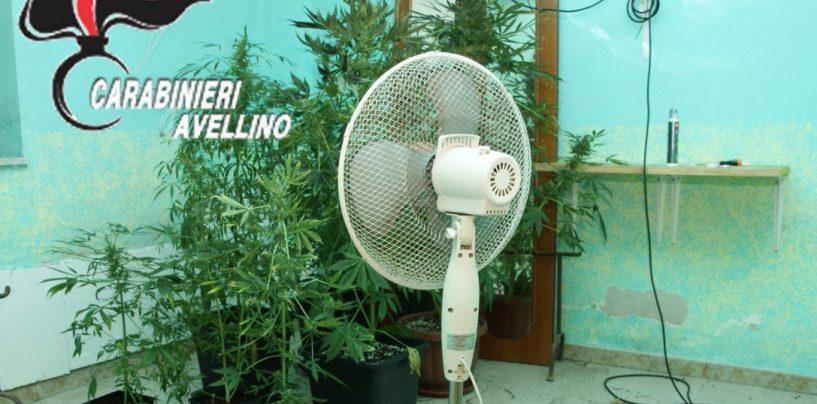 Filiera indoor per la produzione di marijuana: Carabinieri insospettiti dall'odore pungente