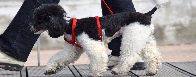 A spasso con il cane senza bottiglietta d'acqua: scatta la multa