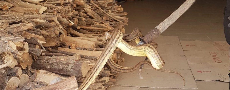 Serpente in un garage, arrivano i vigili del fuoco: catturato