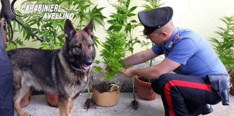 """Il cane """"Zidane"""" fiuta la droga, in manette coltivatore di canapa indiana"""