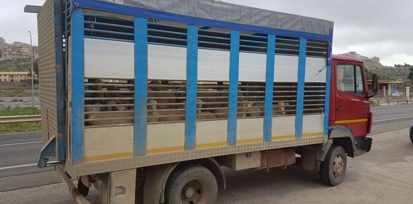 Trasportano ovini e caprini di illecita provenienza: in quattro nei guai