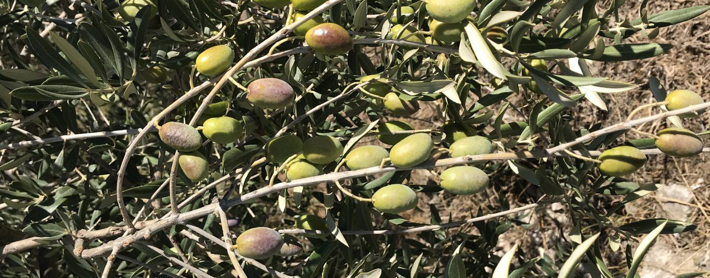 A Carife due giorni dedicati all'olio nuovo: è la festa del ravece e dell'ogliarola