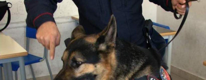 """""""Scuole sicure"""", blitz dei Carabinieri: il cane Pirat scova l'hashish sotto una mattonella"""