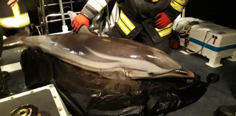 Delfino si arena sul Lungomare di Salerno, salvato e liberato dalla Guardia Costiera