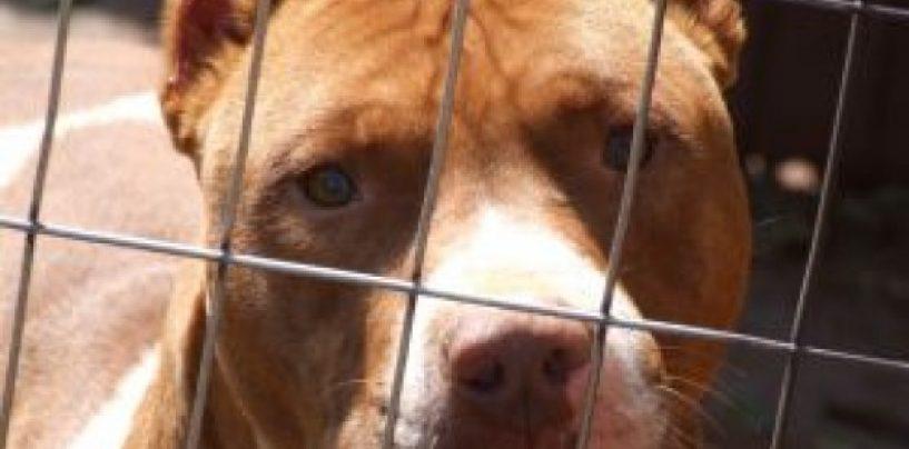Pitbull lasciato senza acqua e cibo, denunciata una coppia del serinese