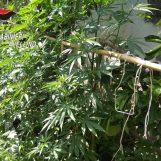 Sorpreso con oltre 40 piante di marijuana sul balcone di casa, 35enne finisce ai domiciliari