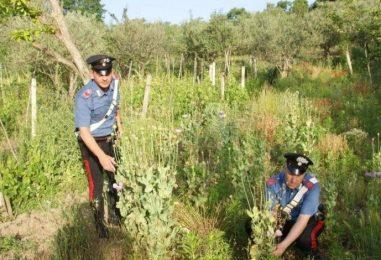 Coltivava piante di oppio in un bosco: denunciato