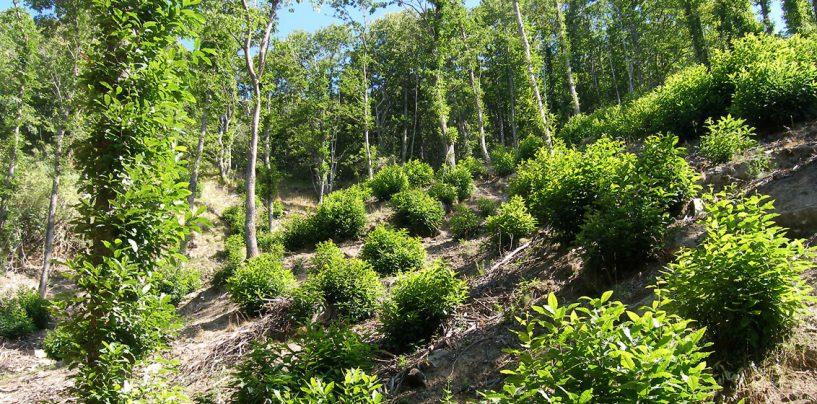 Trasforma un bosco ceduo in castagneto da frutto, denunciato un 55enne di Lauro