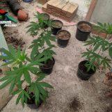 Coltiva tre piante di canapa, nei guai un 71enne di Paternopoli