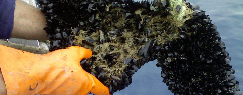 Impianti abusivi in mare: sequestrate oltre 200 tonnellate di cozze
