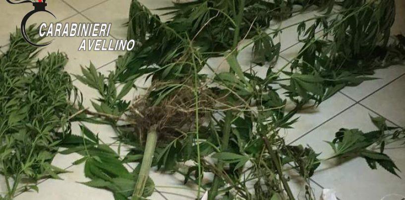 Coltiva marijuana in casa, arrestato un sessantenne di Mirabella
