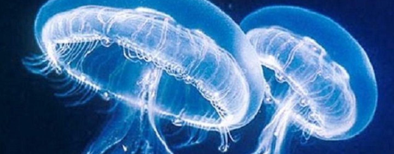 Tornano le meduse in basso Adriatico: ecco le regole d'oro in caso di contatto
