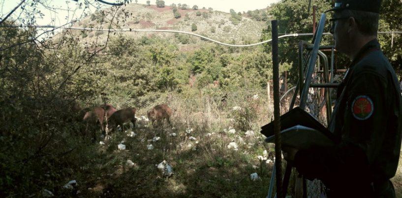 Recinto con 16 cinghiali, scatta il sequestro dei carabinieri forestali