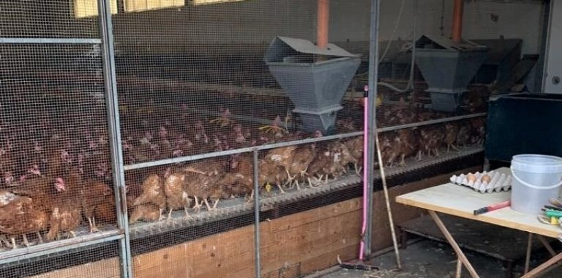 Focolaio di salmonella nell'allevamento avicolo: abbattute oltre mille galline