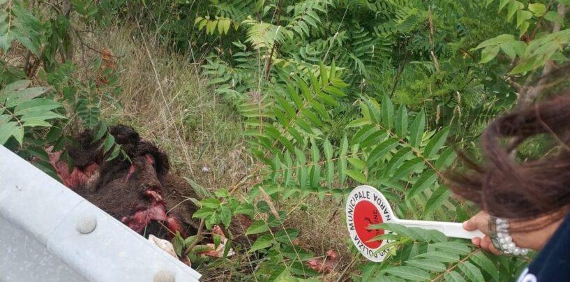 Rinvenuti resti di cinghiale: Grottaminarda dichiara guerra all'abbandono di rifiuti
