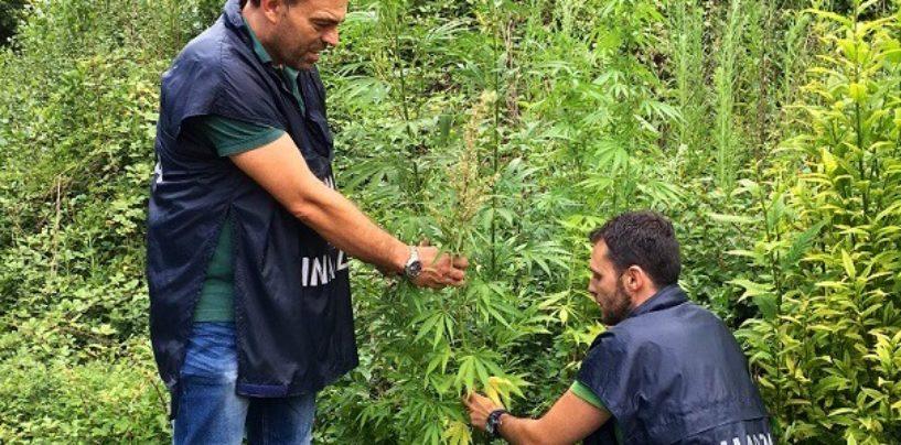 Aiello, scoperta vasta piantagione di marijuana