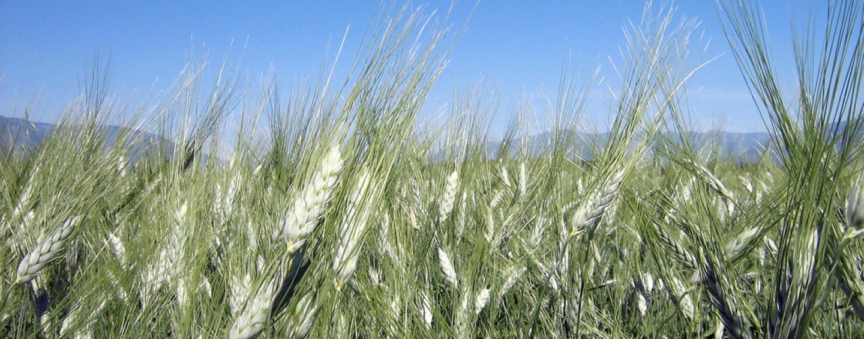 """Alimentazione e salute: i """"cereali minori"""" che imperversano sulle tavole"""