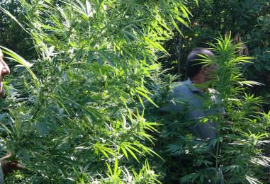 Contrada, scoperta vasta piantagione di marijuana