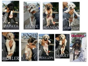 Ecco a voi i fantastici 9!! i cuccioli di Lady non sono bellissimi? sono 5 maschietti e 4 femmine! Forza!!! venite a prenderli vi aspettano al Valleverde