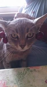 gatto ciliegino