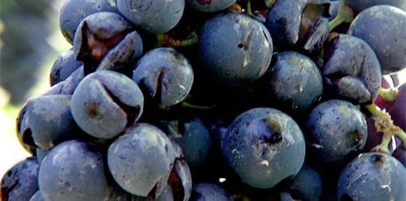 Coldiretti Avellino denuncia le conseguenze del maltempo su viti e olive