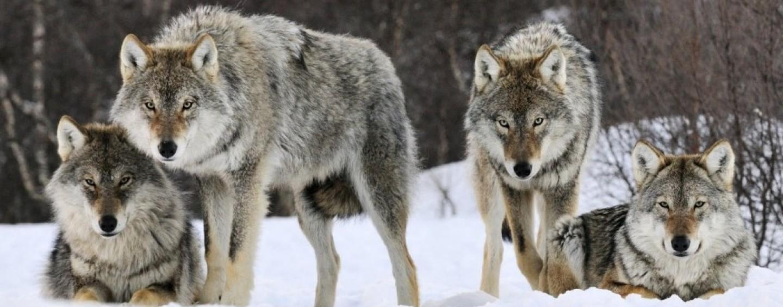 """60 uccisioni """"legali"""" di lupi all'anno, il Wwf si mobilita per salvare la specie"""