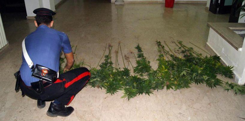 Sequestrata dai Carabinieri una piantagione di marijuana, ecco dove