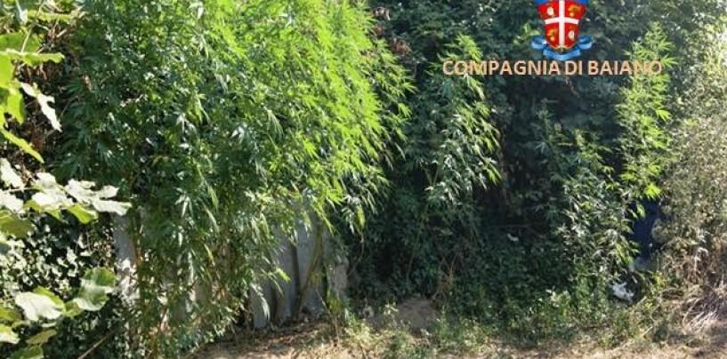 Forino – I carabinieri sequestrano 15 piante di cannabis alte 2 metri