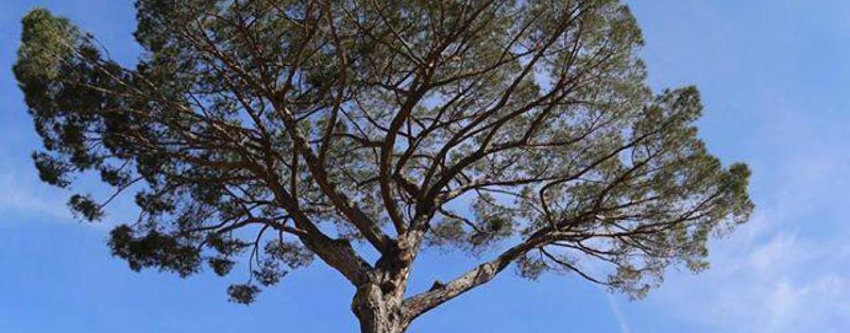 Montoro – Abbattuto il pino secolare tra le proteste dei cittadini