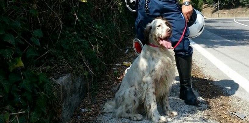 Polizia Municipale di Avellino ritrova e riconsegna un setter smarrito al proprietario