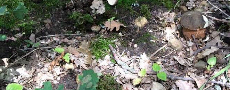 A funghi in un castagneto senza autorizzazione: 100 euro di sanzione