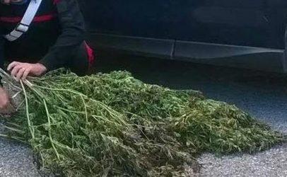 Monti Lattari, coltivazione di piantagioni di cannabis: 57enne arrestato