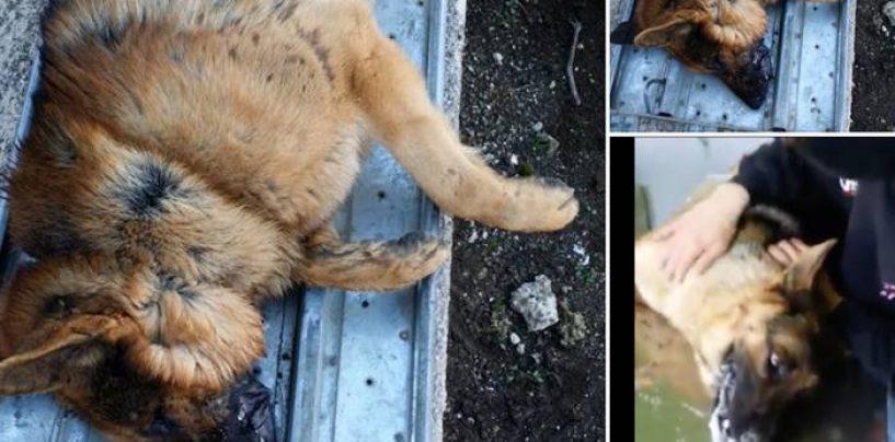 """Monteforte Irpino, due pastori tedeschi avvelenati. Lo sdegno su Fb: """"Stop alla violenza"""""""