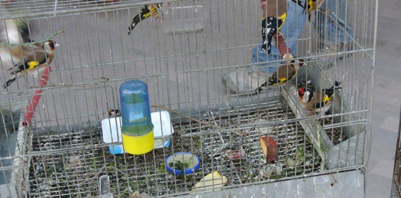 Aiello del Sabato, illecito di avifauna: denunciato un allevatore