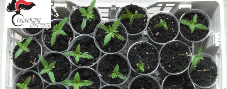 25 piantine di marijuana sul terrazzo, scovate dall'unità cinofila dell'Arma