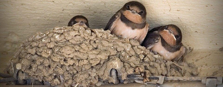Distrutti ad Atripalda i nidi delle rondini, simbolo della Primavera