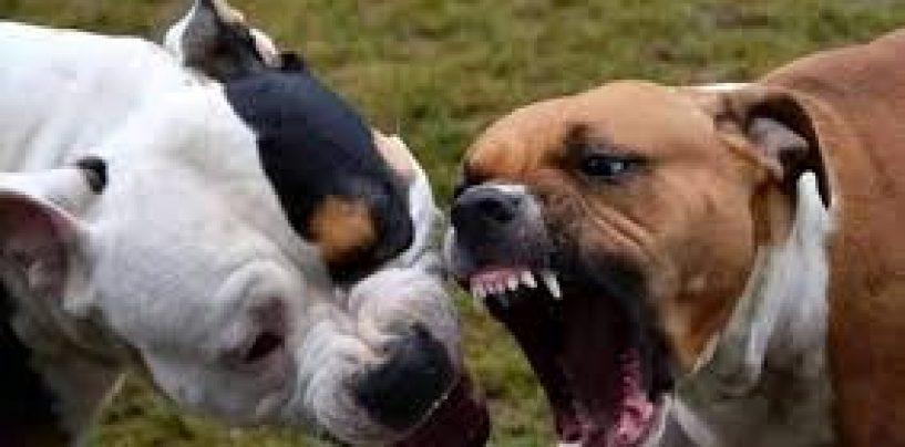 Due pitbull uccidono il cane del vicino: nei guai il proprietario